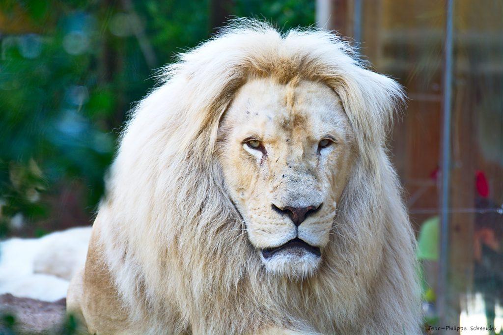 Lion blanc du zoo d'Amnéville