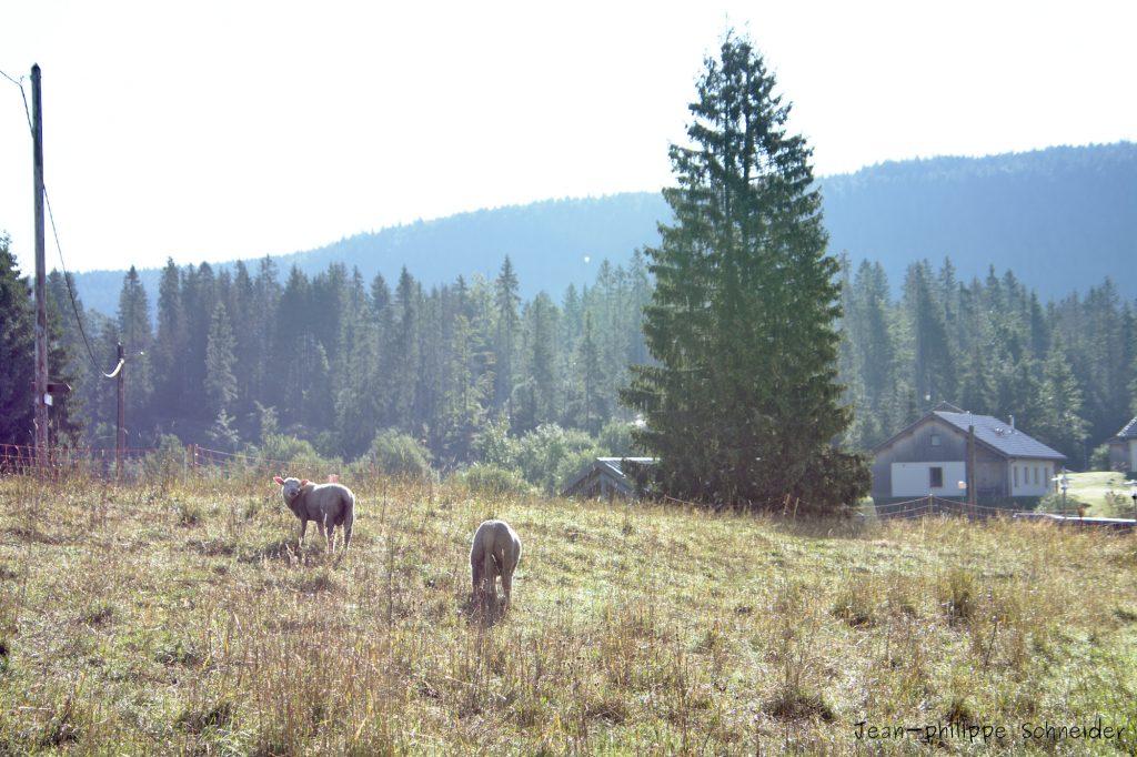 Moutons sur une prairie de Chapelle-Des-Bois