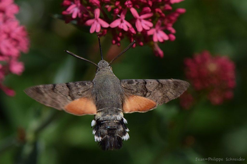 Moro-sphinx ou sphinx-colibri